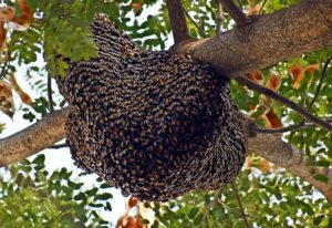 About Honey Bee Swarms