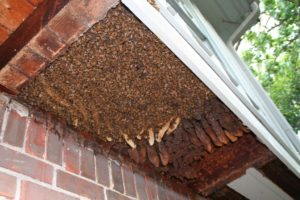 Honey Bee Removals from a Structure