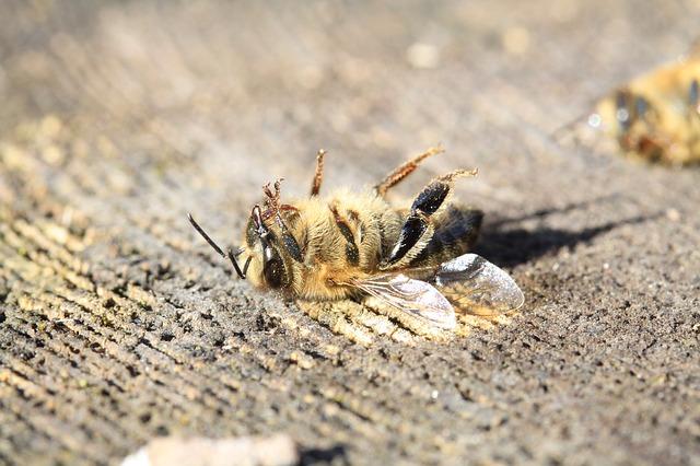 rostichep @ Pixabay, dead bee on back on wood