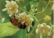 Bee on flowering tree